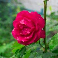 Роза :: Дмитрий Полосков