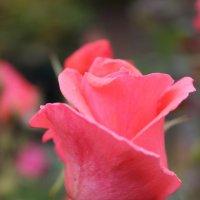 розовый июнь :: Татьяна Счастливая