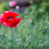 poppies :: yameug _
