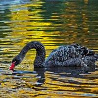 черный лебедь :: Владимир Матва