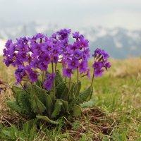 Горные цветы. :: Larisa Gavlovskaya