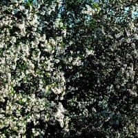 Цветение дерева :: Анастасия