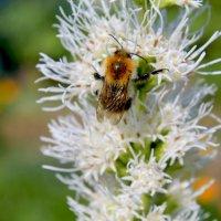 Пчела :: Андрей Неуймин