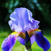 Цветок ирис :: Александр Горелов
