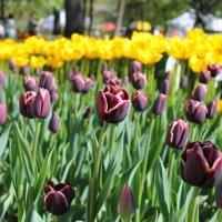 Тюльпаны :: Александра К