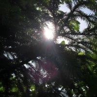 Солнце сквозь ветви :: Анатолий