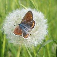 Бабочка и одуванчик... :: Олег Фролов