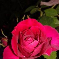 роза :: Юлия Закопайло