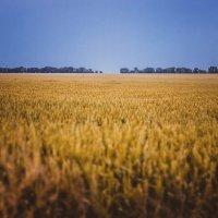 Пшеничное поле :: Анзор Агамирзоев
