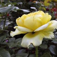 Marselisborg Rose :: Сергей Мягченков
