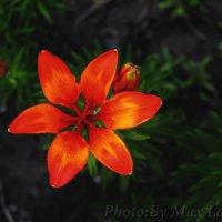 цветок :: Max Laryushin