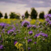 цветущие поля :: АЛЛА Смирнова