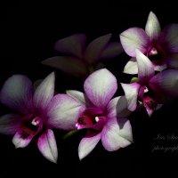 Orchidaceae- Dendrobium :: Ирина Котенева