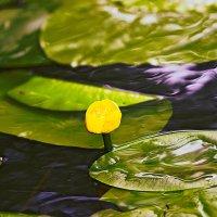 water-lily :: Сергей Мосякин