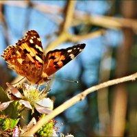 Бабочка на цветке :: Ольга Ламзина