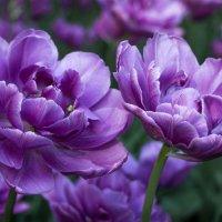 Тюльпаны фиолетовые :: Caba Nova