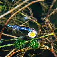 Стрекозы на Шумилинском озере. 13. :: Анатолий Клепешнёв