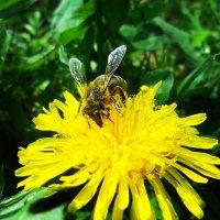 Бджола :: Володимир Цепін