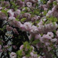 и в хмурую погоду распускаются цветы... :: Оксана Безель