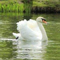 """а белый лебедь на пруду..."" :: Оксана Безель"