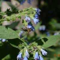 Пчелка :: Olga Pomozova