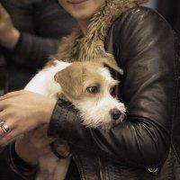 На выставке собак 2. :: Алексей Хаустов