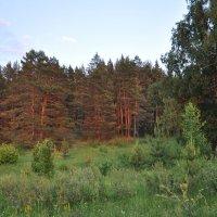 красные стволы :: павел бритшев