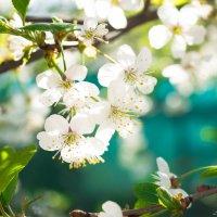 Вишни цвет :: Анна Финогенова