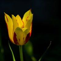 Тюльпан :: Annie Kuzz