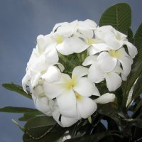 Цветы магнолии... :: Caba Nova