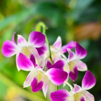 Цветы Тайланда :: Ксения Базарова