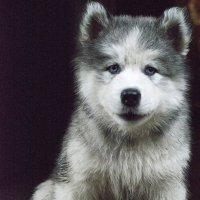 Маленький щеночек Хаски. :: Галина Мещерякова