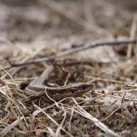 Живородящая ящерица (Lacerta vivipara) :: Григорий Кинёв