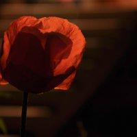 Ночной рыжий мак :: Юлёна Рачкова