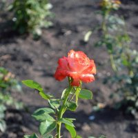 Роза :: Анна Фрак