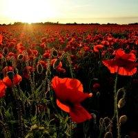 Маковое поле на закате. :: Александр Крылов