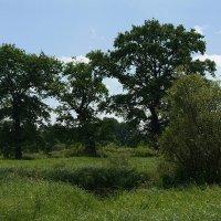 болотние дубы :: василий
