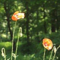 Цветы :: Константин Задоя