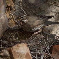 Дрозд белобровик (Turdus iliacus) у гнезда :: Григорий Кинёв
