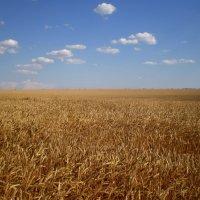 Поле пшеницы :: Татьяна Пальчикова