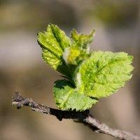 Распускающиеся листья :: Альбина Кабик