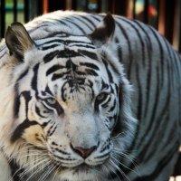 Тигр :: Анастасия Салимова