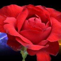 роза с обработкой  фона в фотошопе :: Юрий Пожидаев