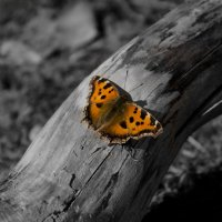 Бабочка :: Sergey Gaponenko