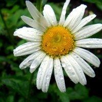 Дождь в саду. :: Елизавета Успенская