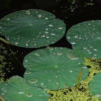 листья лотоса :: Ирина Лядова