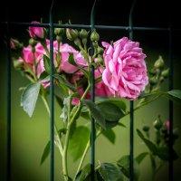Роза за решеткой... :: Nonna