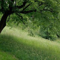 Старое дерево. :: Leonid Volodko