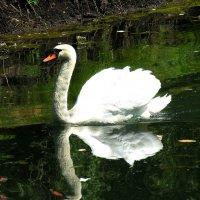 Лебедь :: Тамара Цилиакус