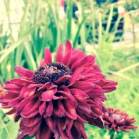 #цветы :: Елизавета Кош